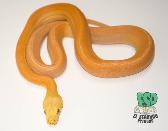 100% Het Albino (White Phase) Golden Child Platinum 100% Het Albino (Purple Phase) Phantom