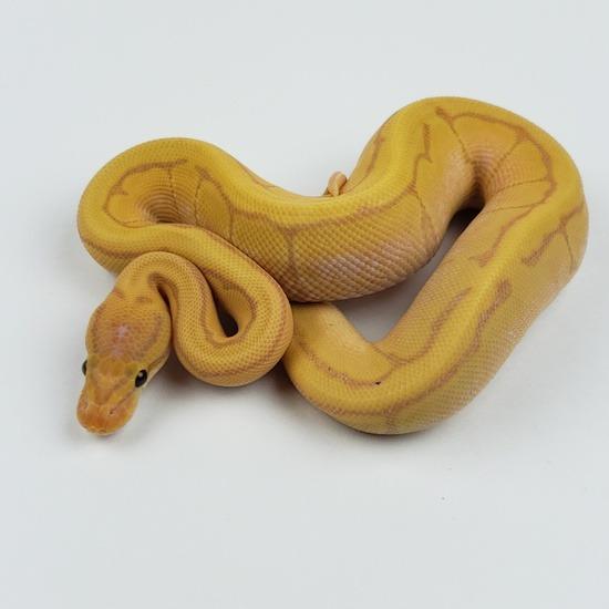 Banana Pinstripe Enchi