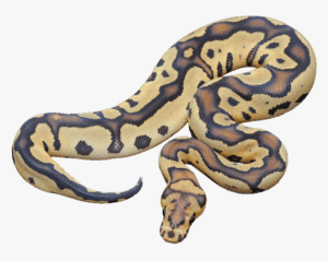 Ball Python Care Guide for your new pet Ball Python