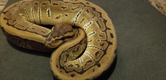 Pinstripe Ball Python Potential