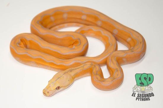 Lavender Motley Sunfire Reticulated Python