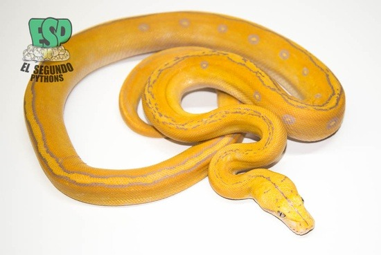 Lavender Sunfire Goldenchild Reticulated Python
