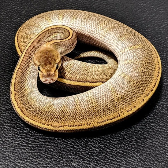 The potential of the pinstripe ball python