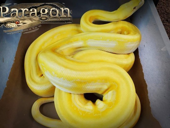 Potential of the lavender albino reticulated python morph