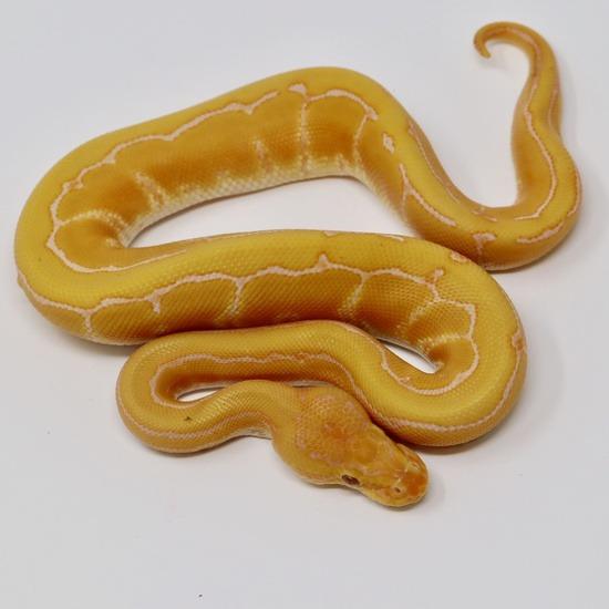 Pinstripe Lavender Albino