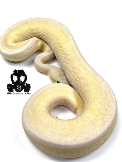 Pastel Spider Pinstripe Mojave Special Vanilla
