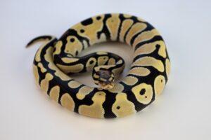 ball Python habitat