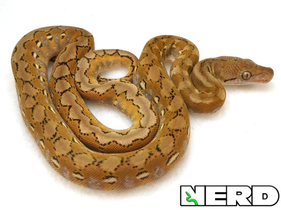 Reticulated Python Care Sheet