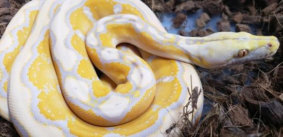 Lavender albino Reticulated Python Potential