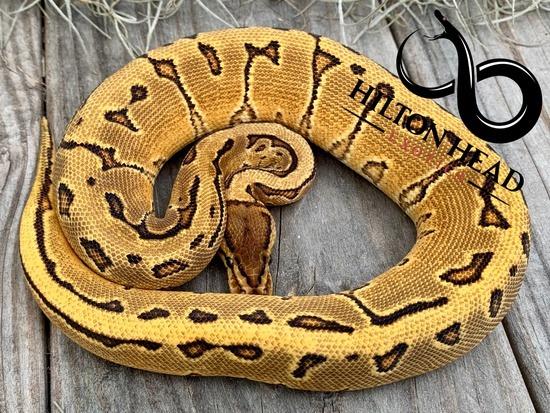 Yellow Belly Pinstripe Enchi