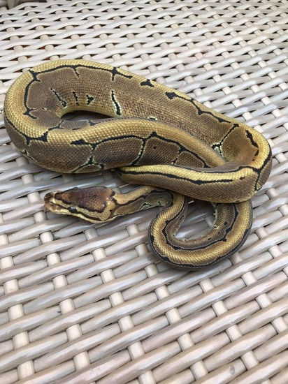 potential of the pinstripe ball python