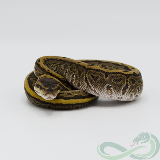 The Potential Of The Pinstripe Ball Python Morph