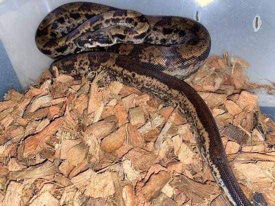 hypo potential boa constrictor