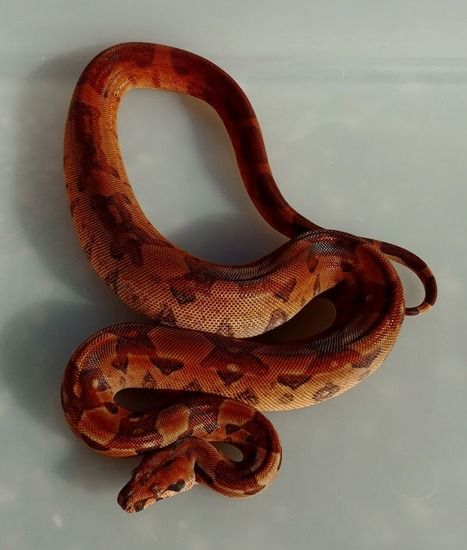 The hypo boa constrictor potential