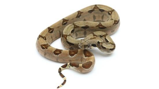 Hypo Boa Constrictor Potential