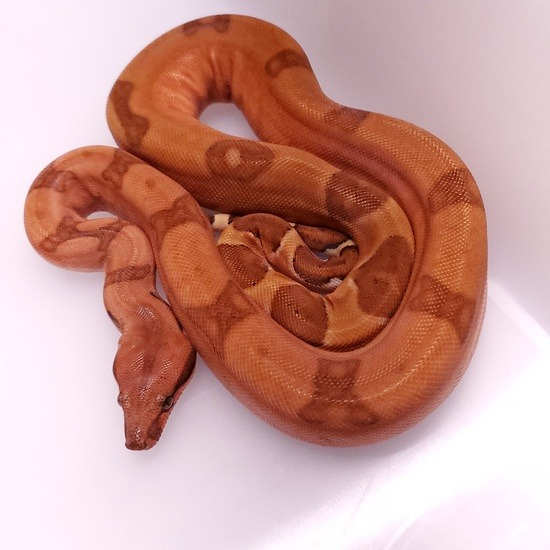potential of the hypo boa constrictor morph