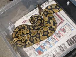 top 7 worst bedding for pythons