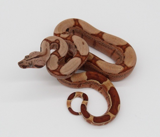 POTENTIAL OF THE HYPO BOA CONSTRICTOR