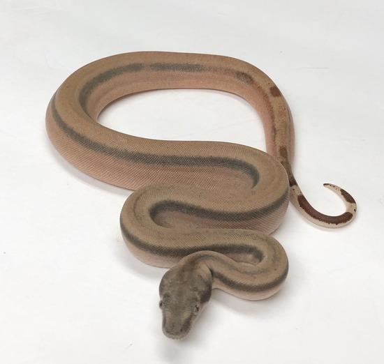 the potential of the hypo boa constrictor morph