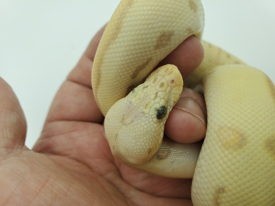 POTENTIAL OF LEOPARD BALL PYTHON