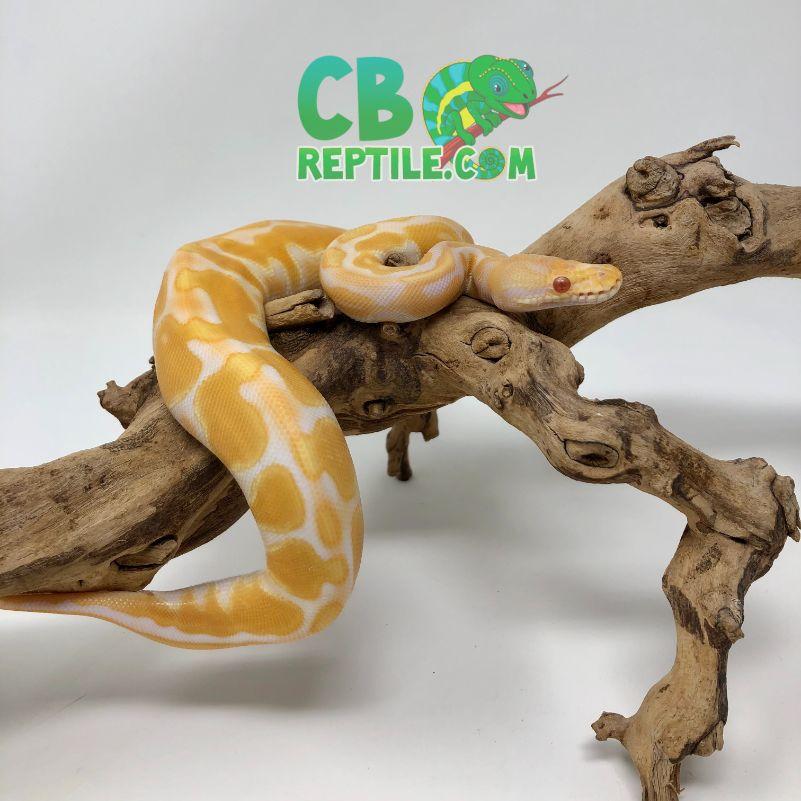 CB REPTILE REVIEW