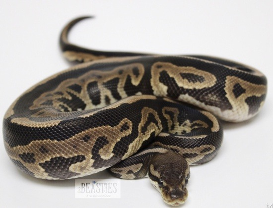 Potential of the Leopard ball python gene