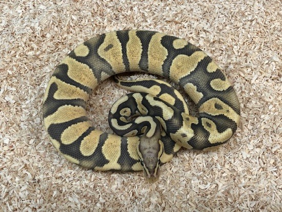potential of pastel ball python