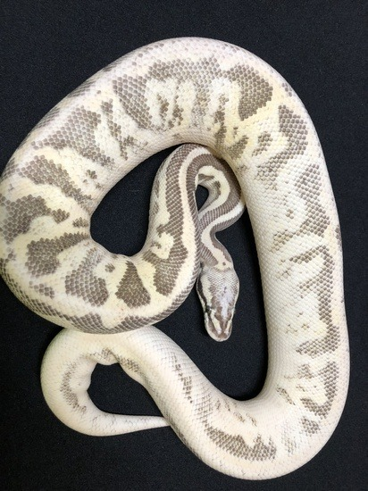 Potential of a Leopard ball python