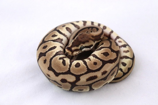 Potential of a leopard ball python morph