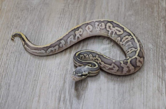 potential of the leopard ball python