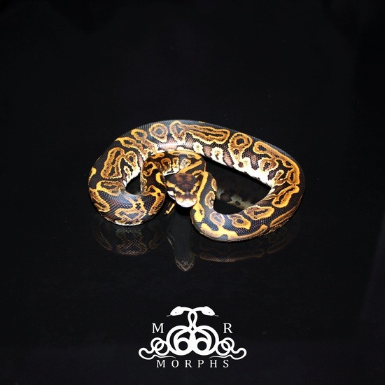 Leopard Ball Python Potential