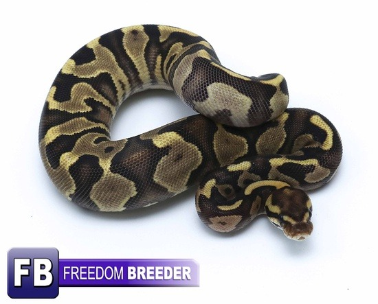 The potential of the Leopard Ball python