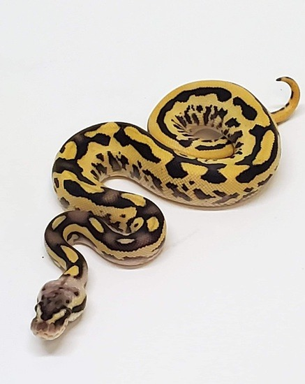 Potential of the Leopard ball python morph