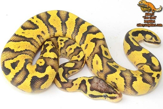potential of a pastel ball python