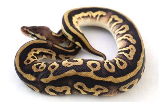 Leopard ball python morph