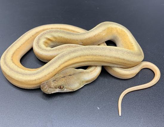 Platinum Reticulated python