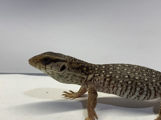 Savannah Monitor Care Sheet