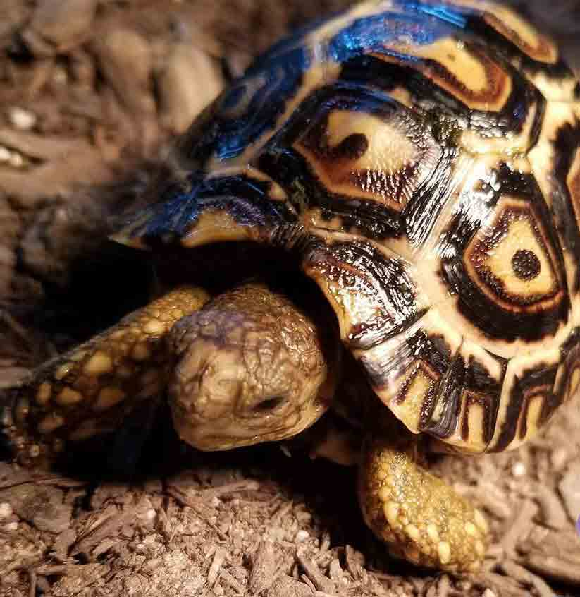Tortoise For Sale - Tortoise Town!