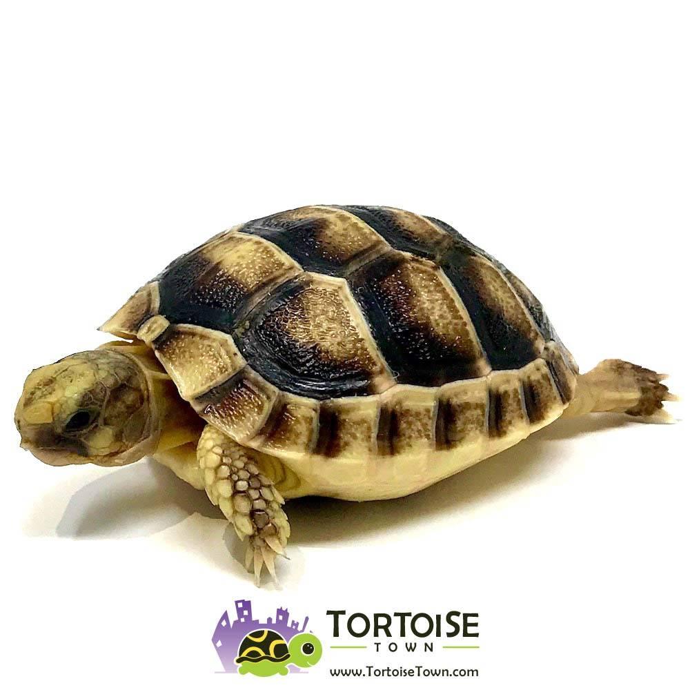 Tortoise For Sale - Tortoise Town