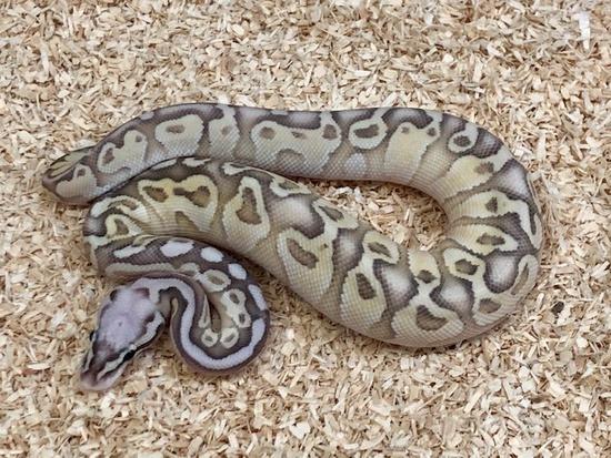 pastel ball python potential