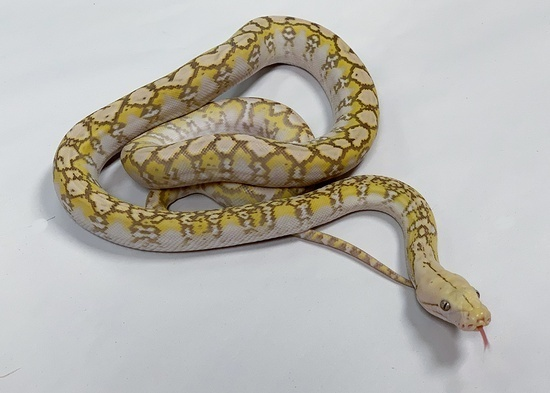 Anerythristic Reticulated Python