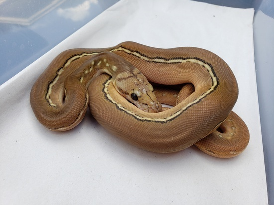 Anthrax Reticulated Python