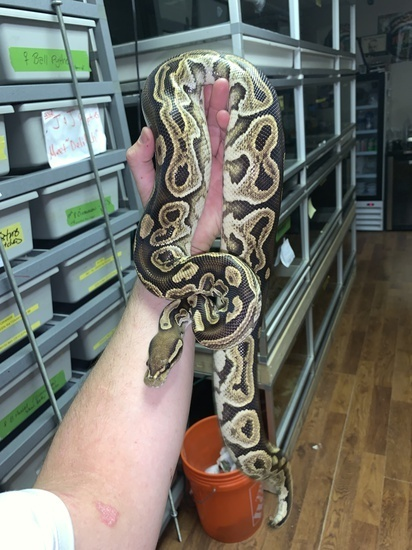 Co-Dominant Ball Python Morphs