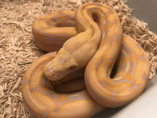Purple Tiger Reticulated Python