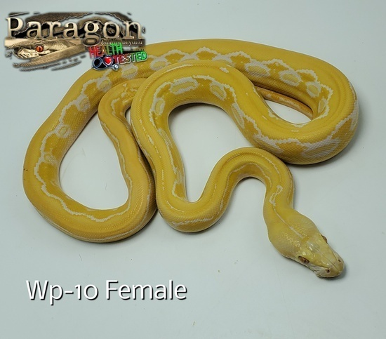 White Phase Albino Reticulated Python