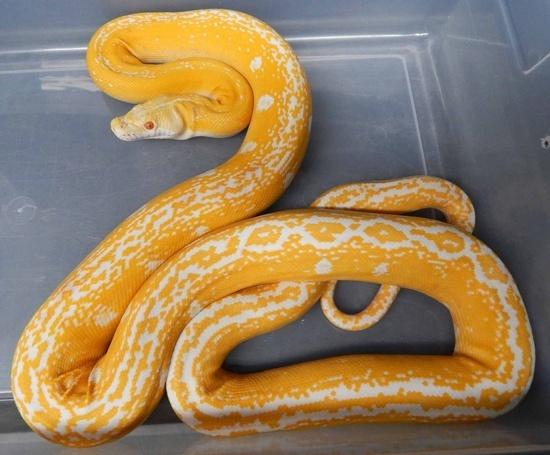 Goldenchild Reticulated Python