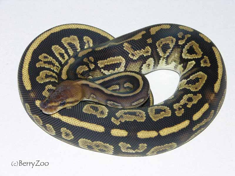 Co-Dominant Ball Python Morphs!
