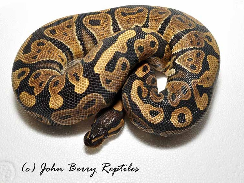 co-dominate ball python morphs